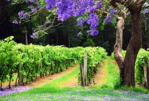 Bago Vineyards - Bundaberg Accommodation