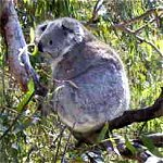 Koala Conservation Centre - Bundaberg Accommodation