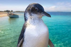 Full-Day Penguin Island  Fremantle Town - Bundaberg Accommodation