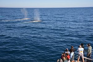 Blue Whale Perth Canyon Expedition - Bundaberg Accommodation