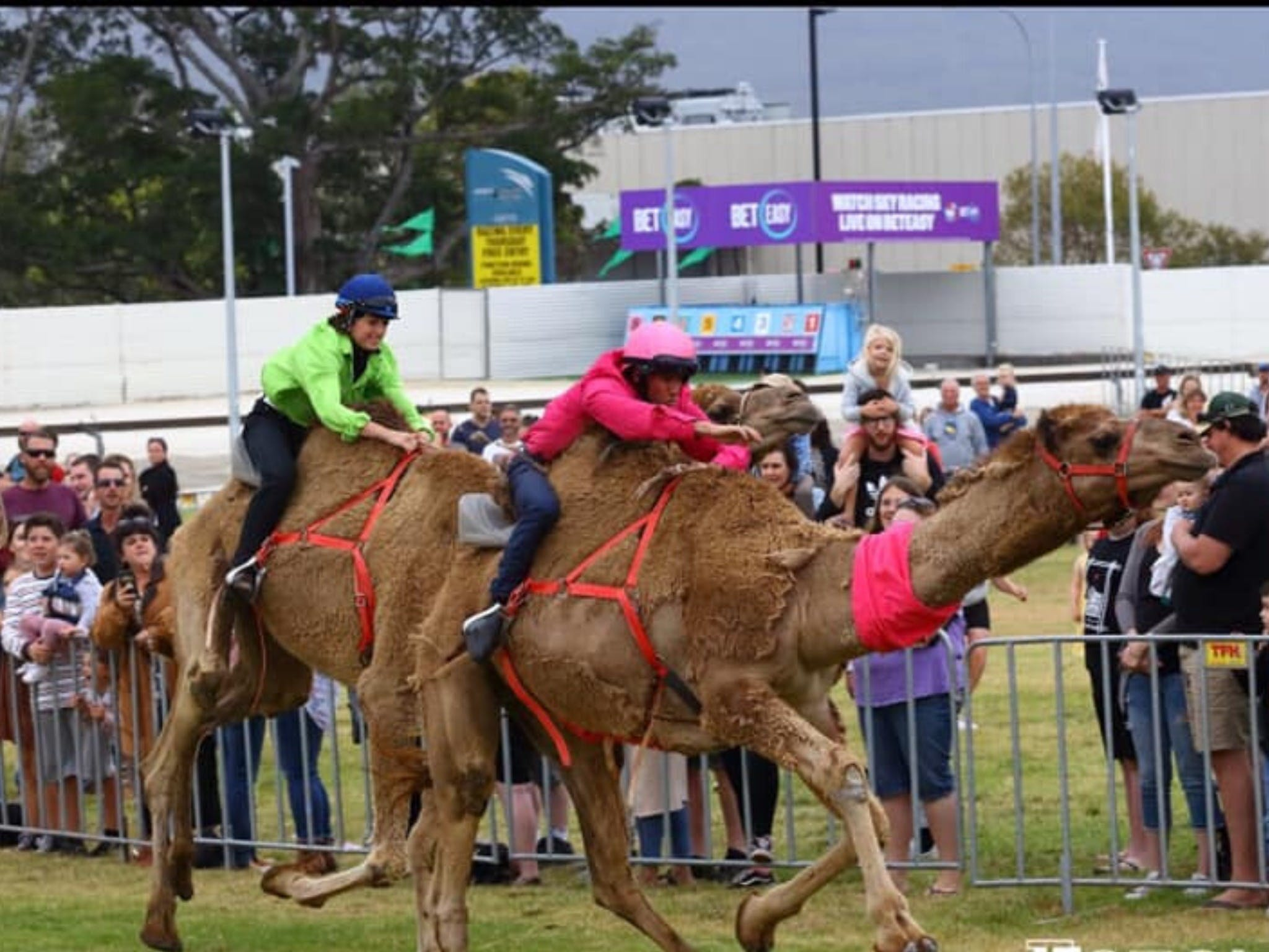 Camel Races at Gosford Showgrounds - Bundaberg Accommodation